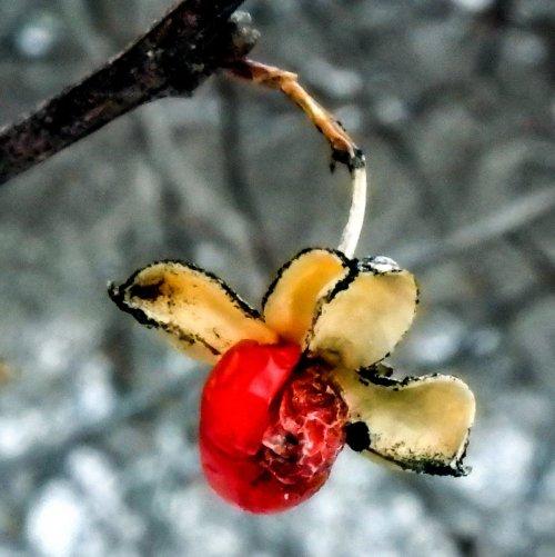 10-bittersweet-berry-2