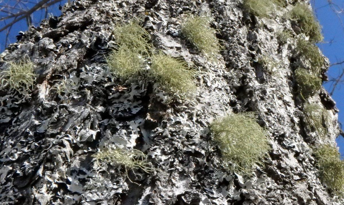 15-beard-lichens