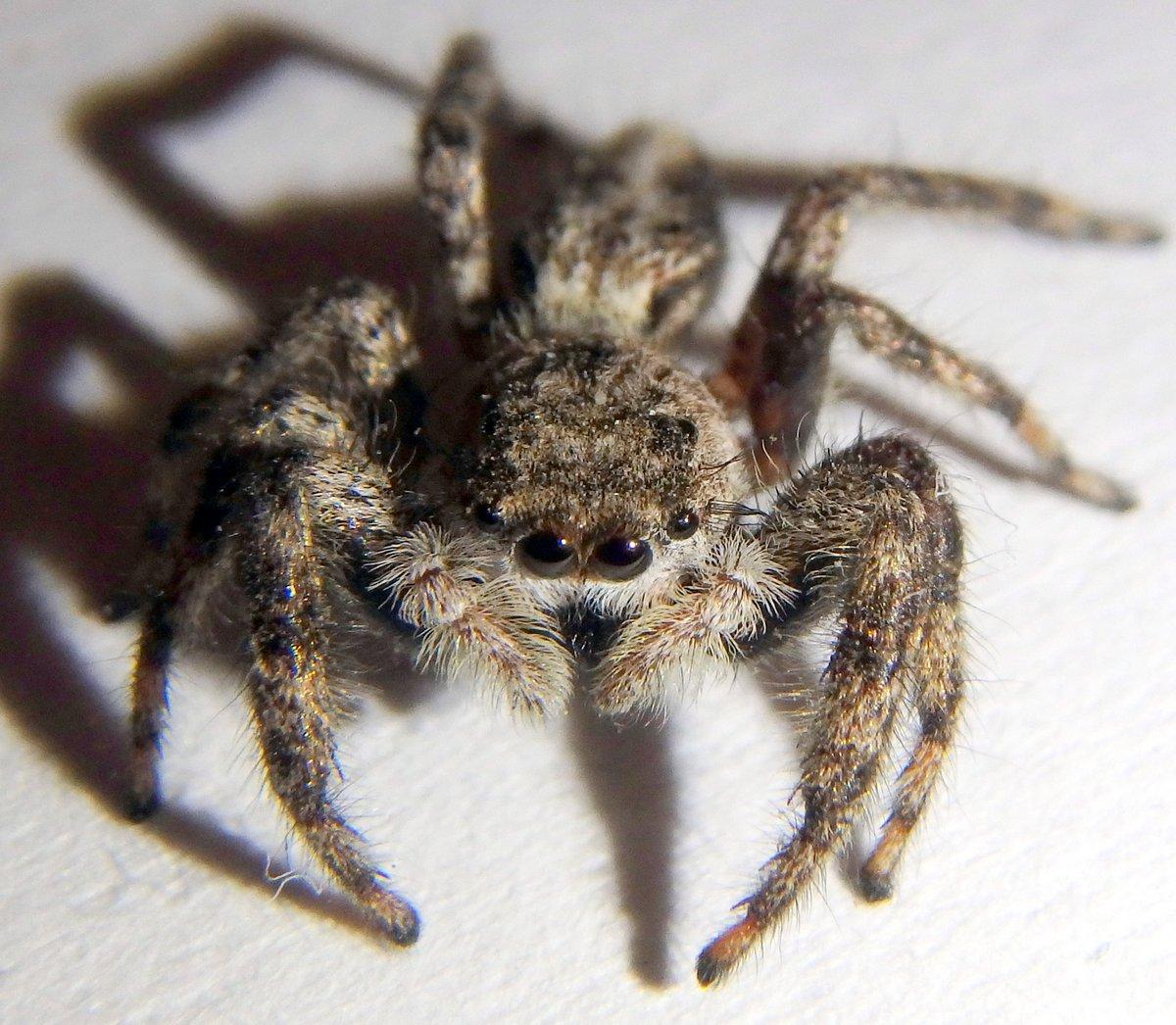 7-spider