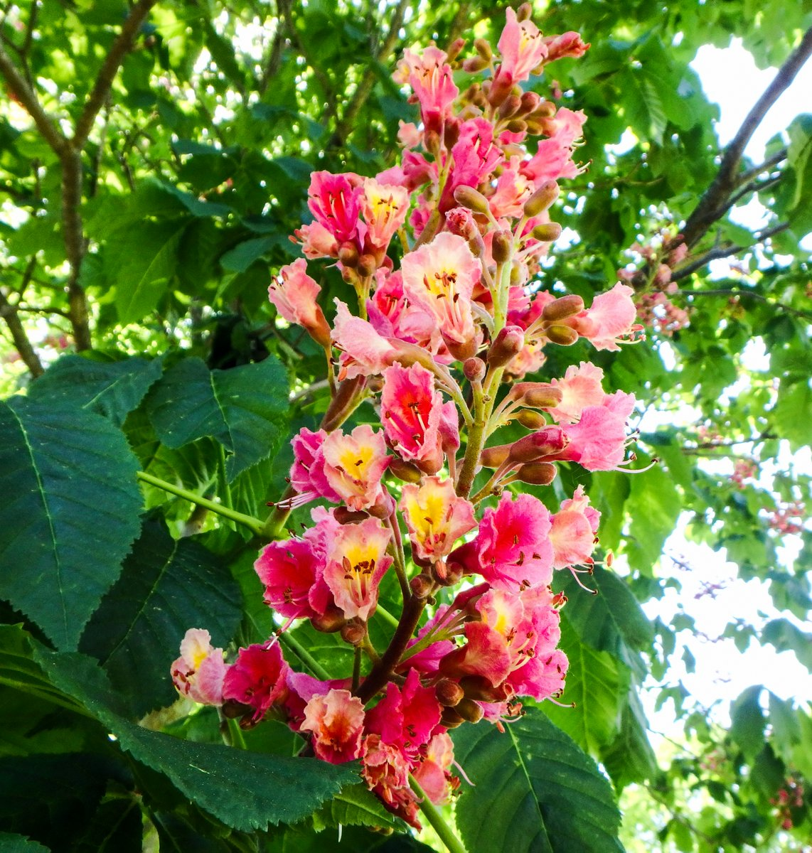 Red Horse Chestnut New Hampshire Garden Solutions