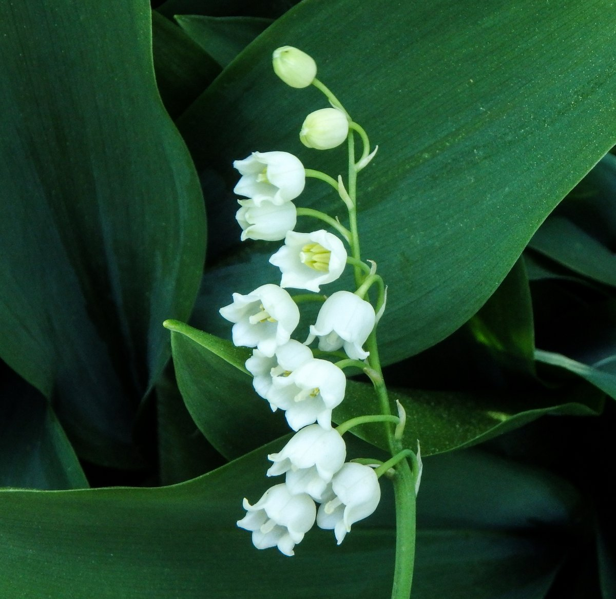Lily Of The Valley New Hampshire Garden Solutions