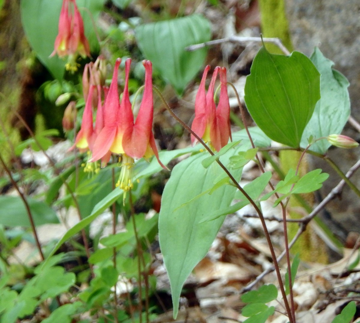 Native columbine new hampshire garden solutions i couldnt stop clicking the shutter always hoping for a better shot the wind was blowing through the canyon so i was sure every photo would be blurred izmirmasajfo