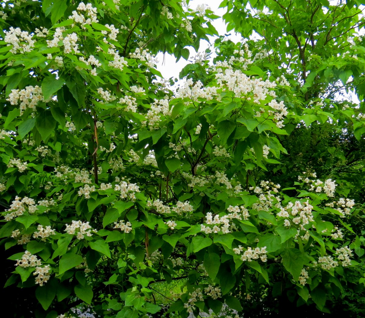 Gray Dogwood | New Hampshire Garden Solutions