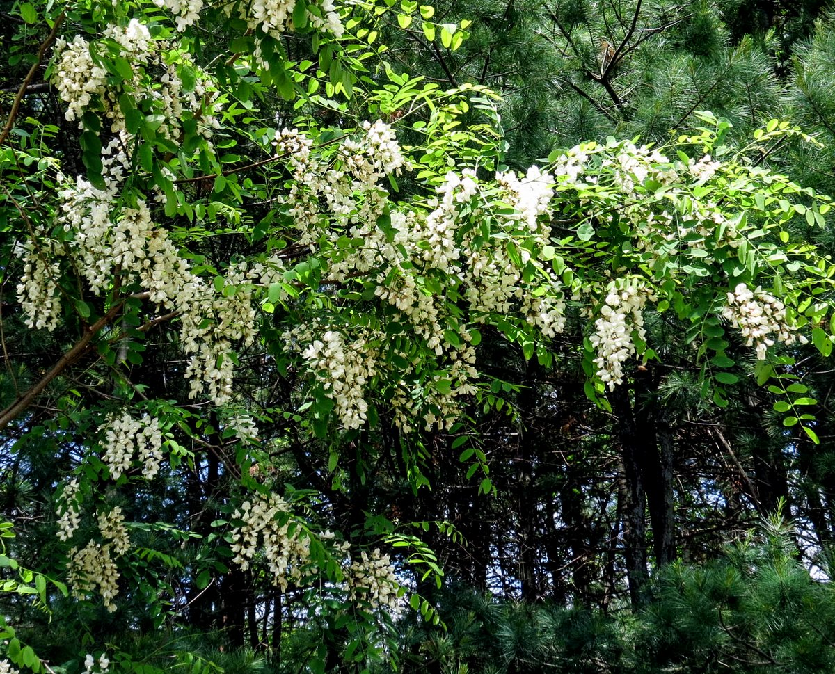 Bristly locust new hampshire garden solutions the one shown here is a black locust robinia pseudoacacia loaded with white very fragrant blooms one way to identify the tree is by the pair of mightylinksfo