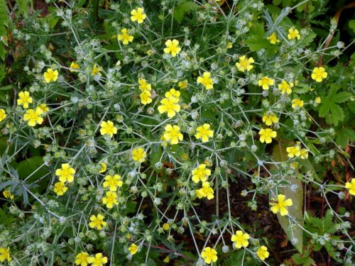 Sulfur cinquefoil new hampshire garden solutions native americans used the straight stems of the shrub for arrow shafts and thats how it comes by its common name when it comes to small yellow flowers mightylinksfo