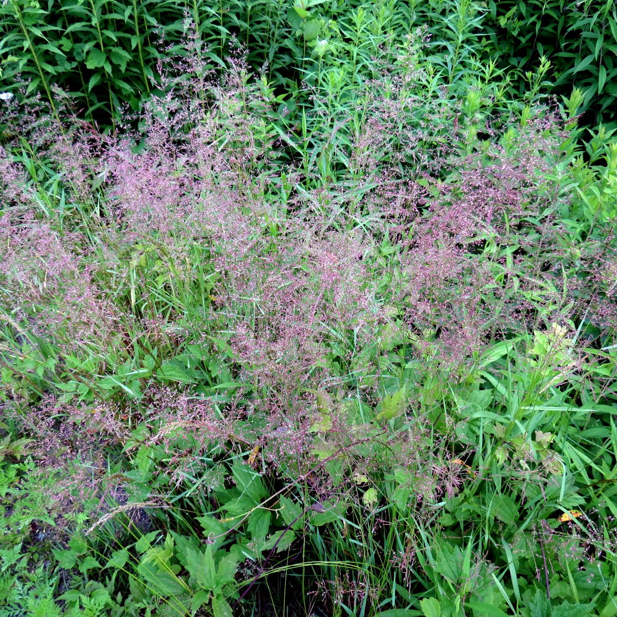Black willow fruit new hampshire garden solutions for Purple grass