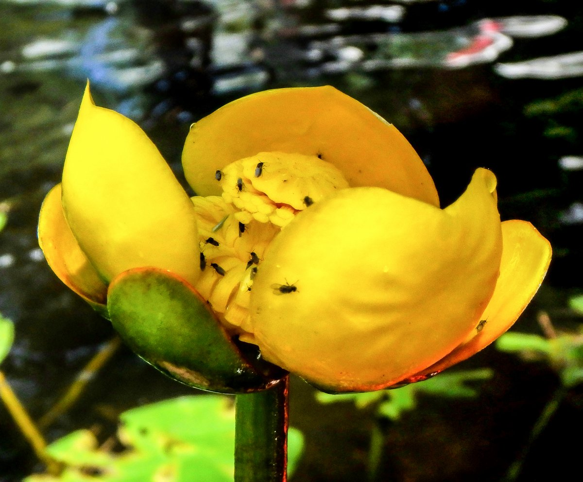 Yellow pond lily new hampshire garden solutions the seeds of the yellow pond lily plant nuphar lutea were a very valuable food source to native americans who ground them into flour mightylinksfo