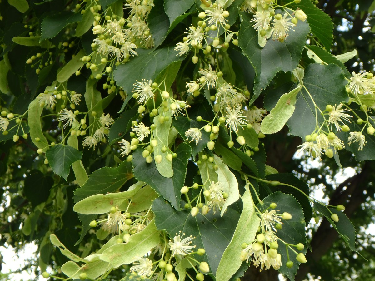 Basswood Tree | New Hampshire Garden Solutions