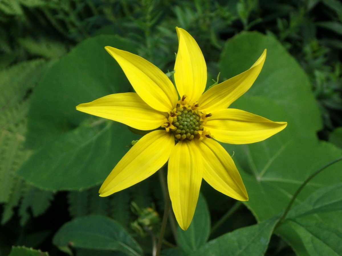 More mid august flowers new hampshire garden solutions there are many different tall yellow flowers blooming now and most are helianthus species i think this one is a jerusalem artichoke helianthus tuberosus izmirmasajfo