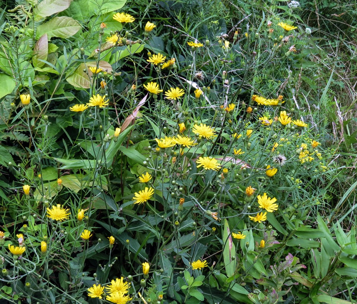 More mid august flowers new hampshire garden solutions panicled hawkweed hieracium paniculatum has wiry stems that curve in all directions and end in a small yellow daisy like flower izmirmasajfo