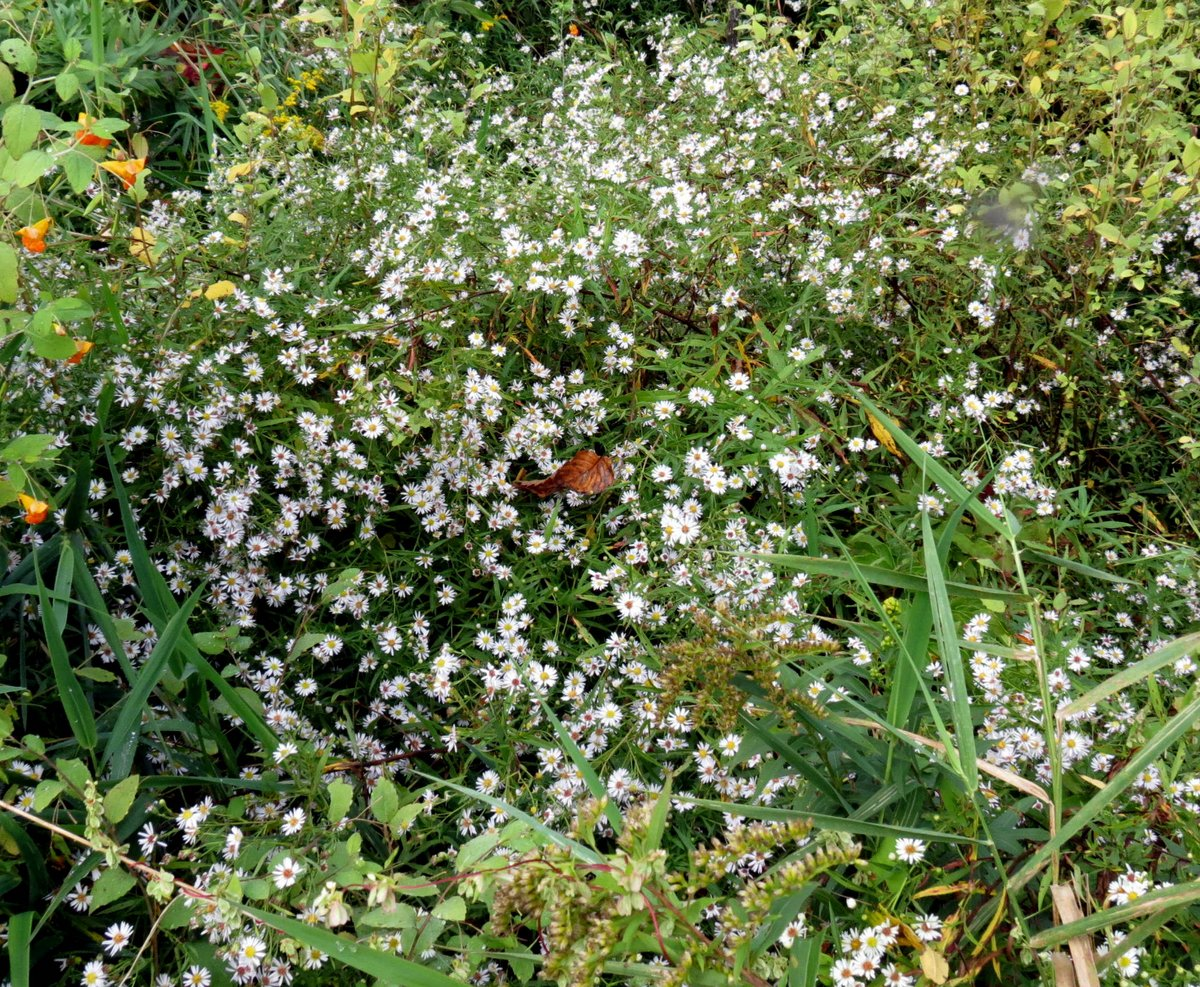 Late september flowers new hampshire garden solutions i found a huge mounded colony of this white aster in an old field asters can be very hard to identify but i think it might be the small white american mightylinksfo