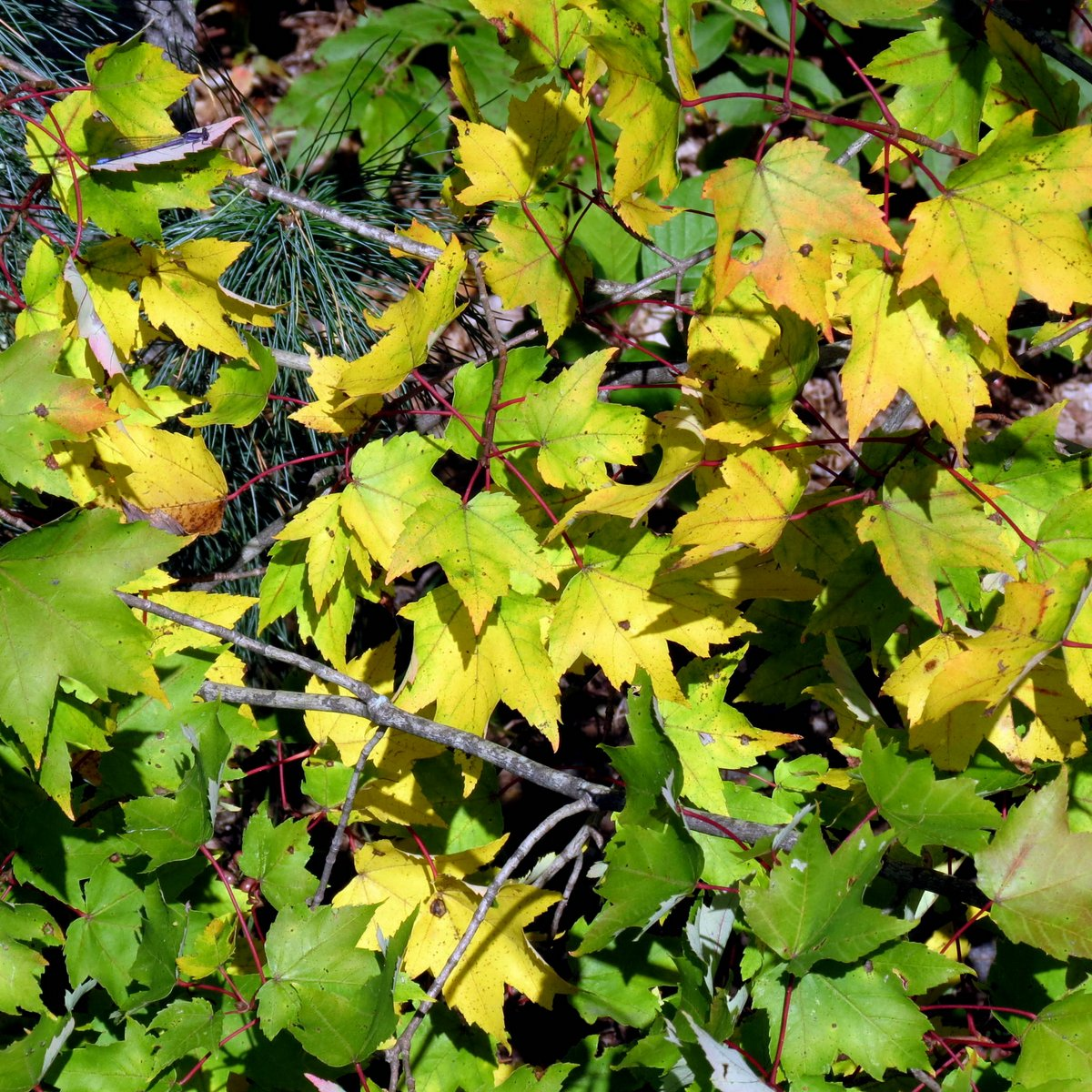 Poison Ivy Fall Color | New Hampshire Garden Solutions