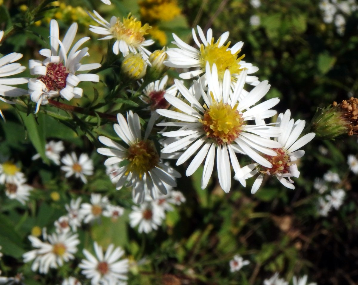 Late september flowers new hampshire garden solutions at about a half inch across the flowers on the small white american aster arent as small as some of the other white asters for an aster the petals are mightylinksfo