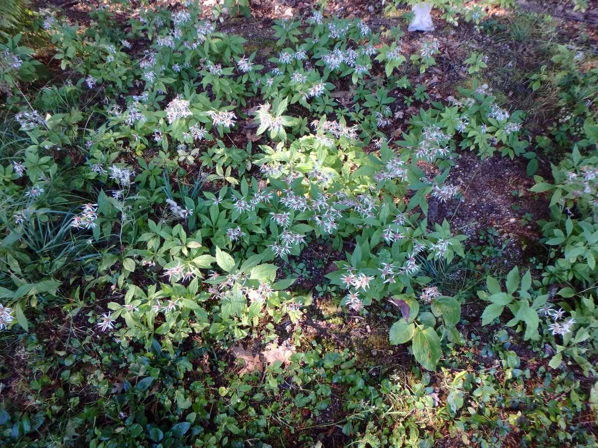 Star Chickweed New Hampshire Garden Solutions