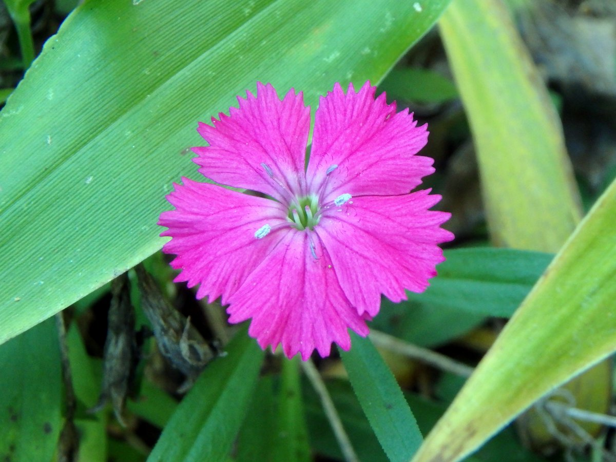Dianthus new hampshire garden solutions dianthus are much loved garden flowers that are often called pinks maiden pinks and deptford pinks are two members of the family mightylinksfo Choice Image