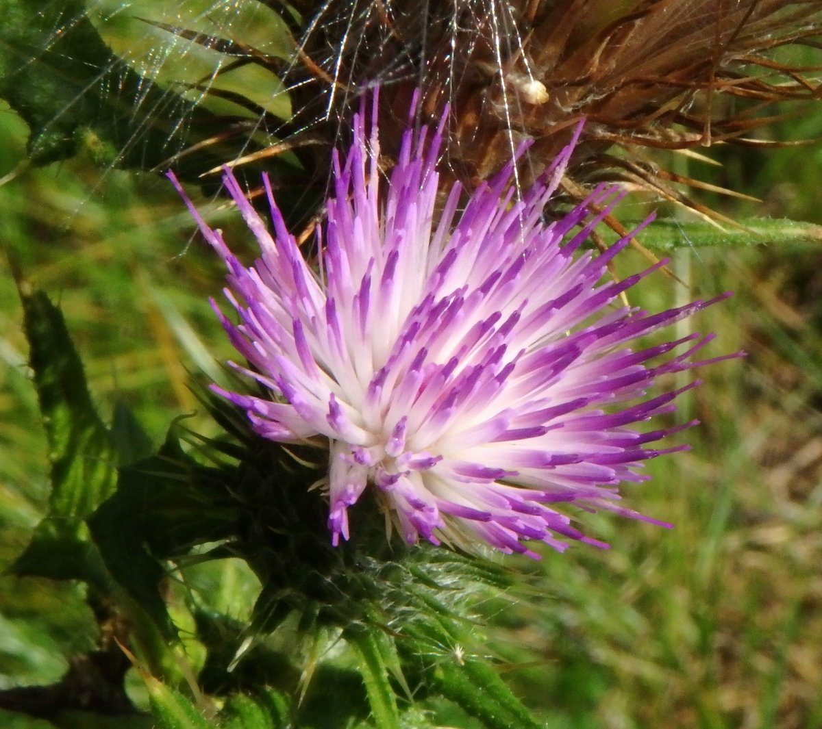 Spear Thistle New Hampshire Garden Solutions