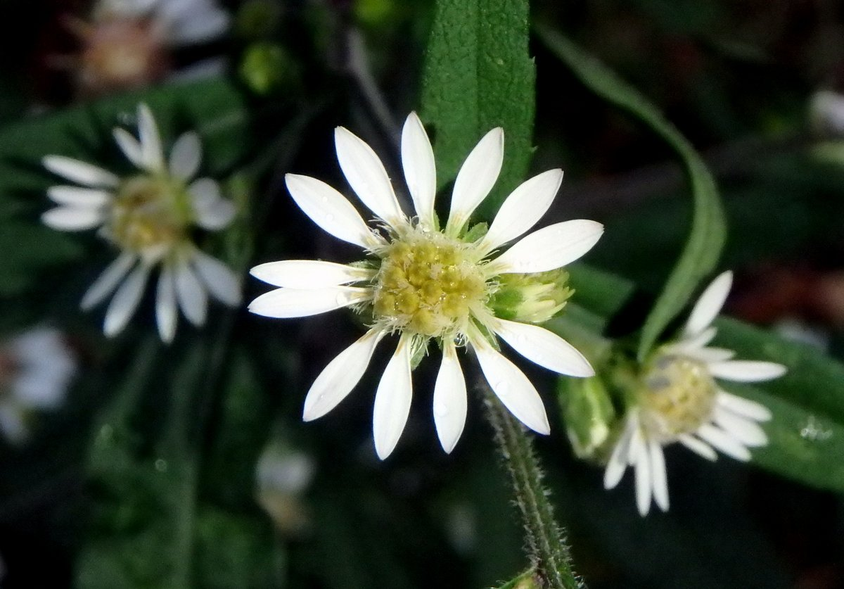 Chrysanthemum New Hampshire Garden Solutions