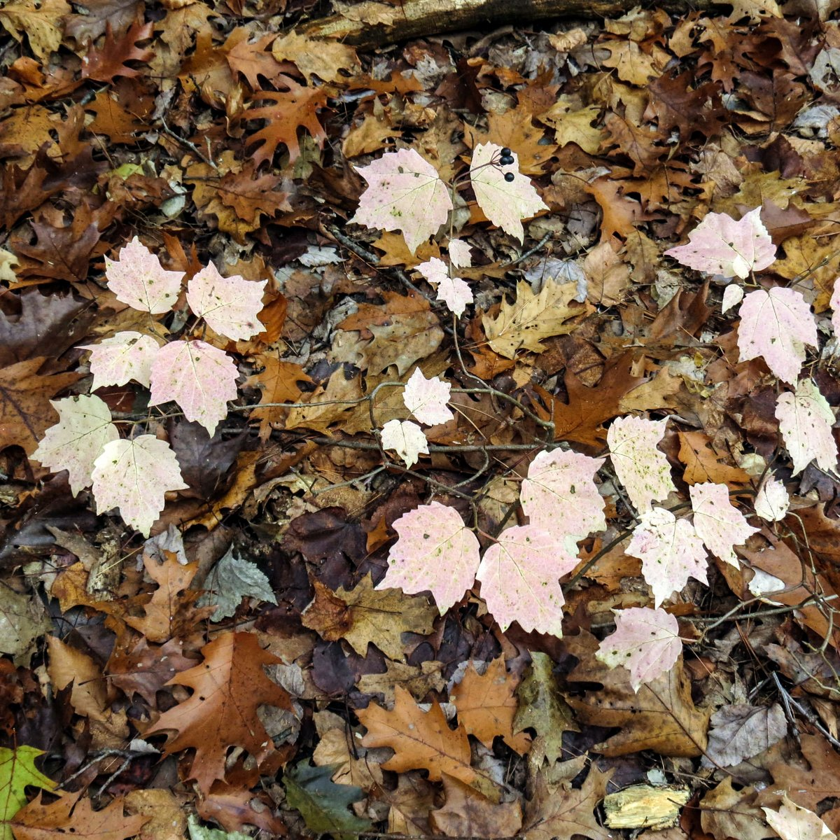Maple Leaf Viburnum in Fall | New Hampshire Garden Solutions