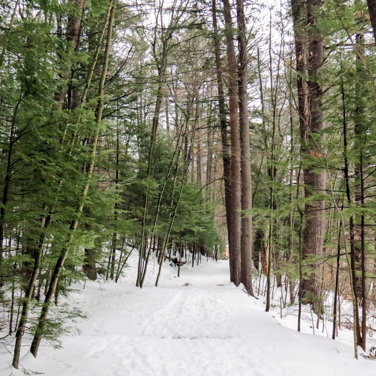 A Walk in a Snowy Forest   New Hampshire Garden Solutions