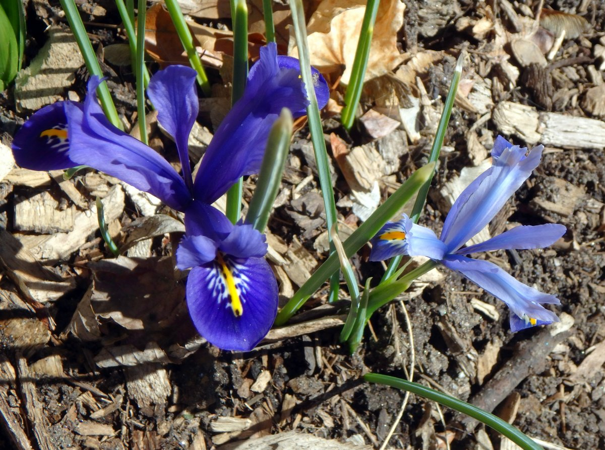 Finally flowers new hampshire garden solutions ive seen reticulated iris iris reticulata blossoms with snow on them in early march they are usually our earliest garden flower but this year they izmirmasajfo