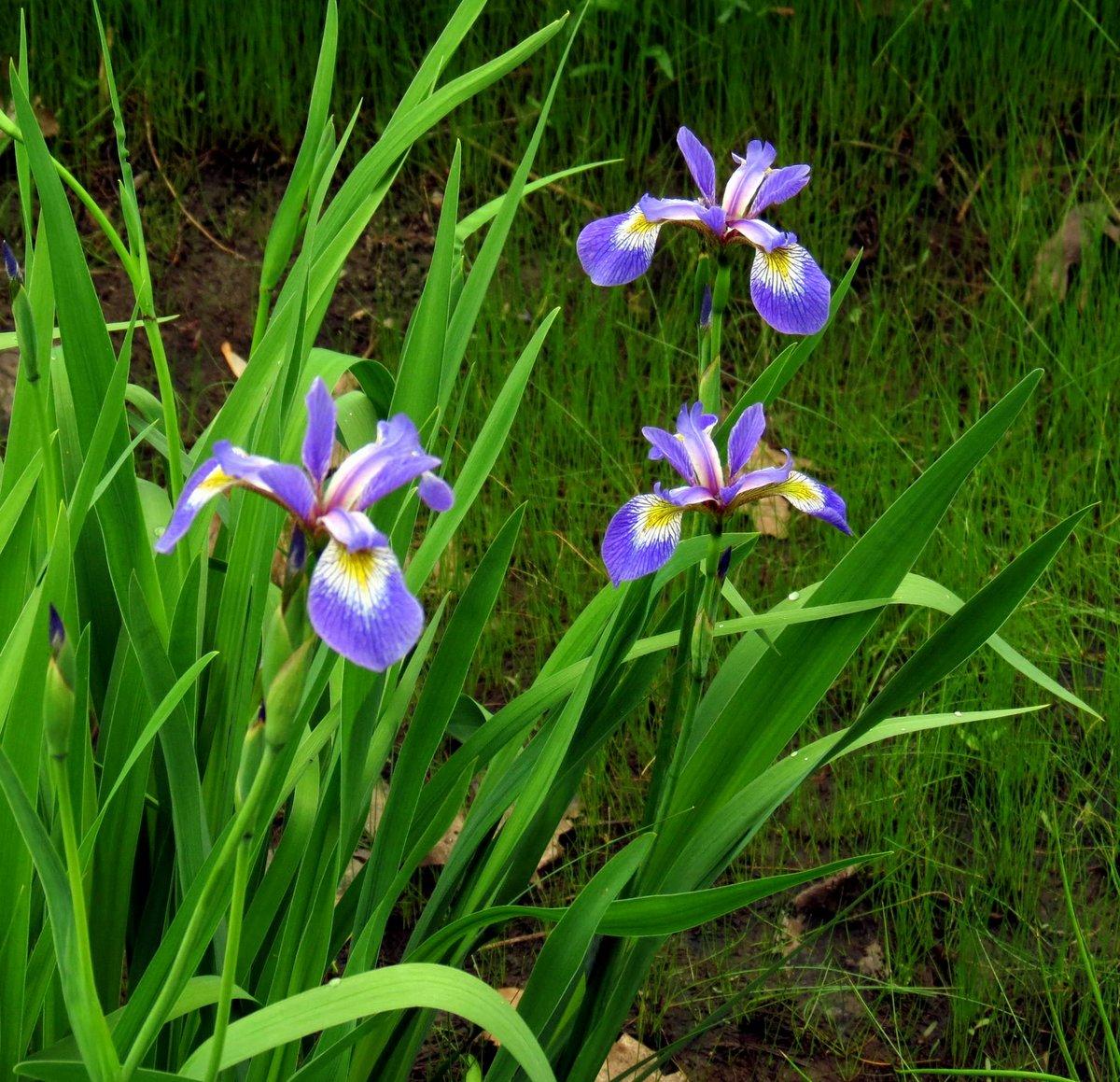 Wild Geranium New Hampshire Garden Solutions