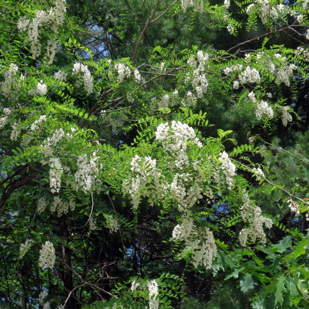 Fringe Tree New Hampshire Garden Solutions