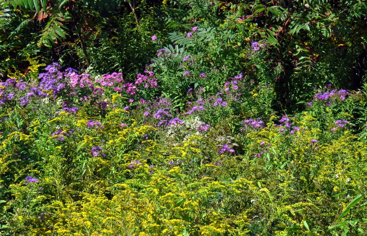 Late summer flowers new hampshire garden solutions here is a roadside scene that is typical in this area at this time of year there are dark and light purple new england asters white asters which i havent mightylinksfo