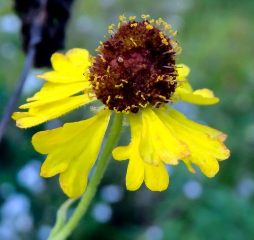 Wildflowers new hampshire garden solutions in the past sneezing was thought to rid the body of evil spirits so both men and women used snuff to make them sneeze dried sneezeweed was one of the mightylinksfo