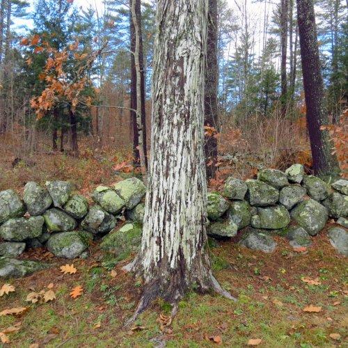 British Soldier Lichen New Hampshire Garden Solutions