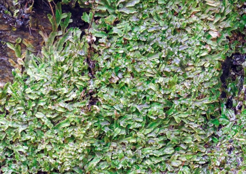 15. Great Scented Liverwort