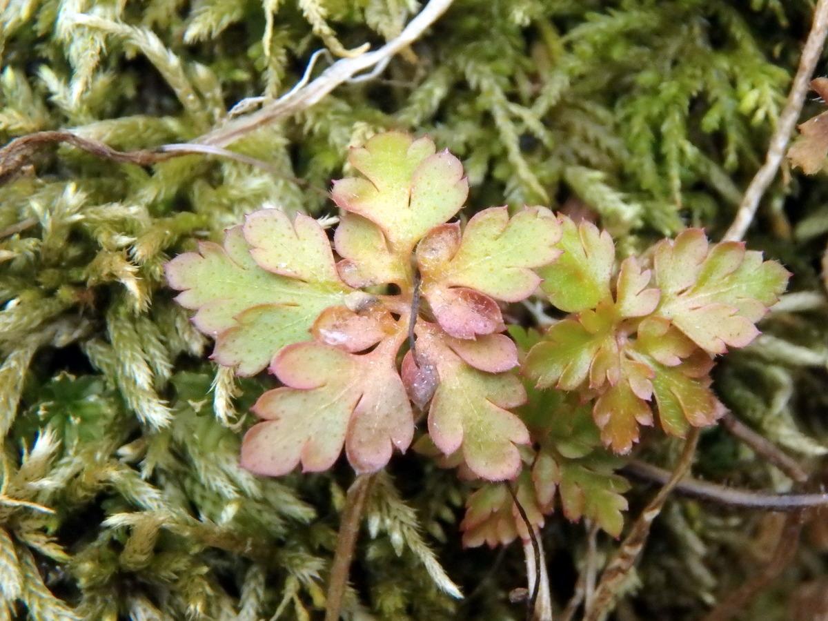 5. Columbine Seedlings