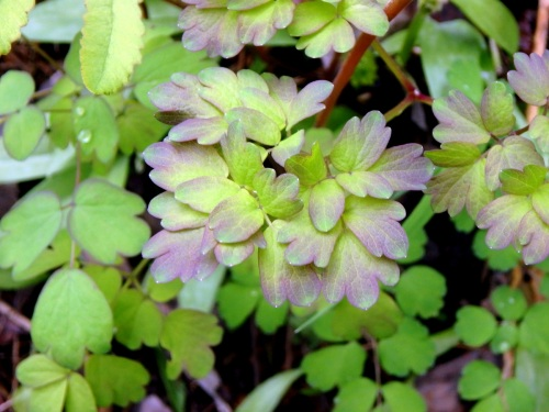 Tall Meadow Rue | New Hampshire Garden Solutions